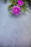 Lampranthus (Ice Plant) flowers on grey stone background Stock Photos
