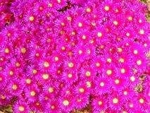 Lampranthus kwiaty Zdjęcia Stock