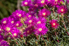 Lampranthus - magenta flowers with succulent leaves in parks of Israel Royalty Free Stock Photos