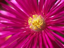 Lampranthus spectabilis Royalty Free Stock Photos