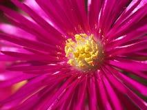 Lampranthus spectabilis Royalty Free Stock Photos