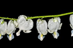 Lamprocapnos spectabilis、心脏出血或者亚洲出血心脏是开花植物的种类鸦片家庭的 免版税库存照片