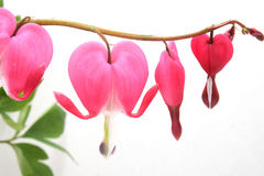 Lamprocapnos spectabilis. Known as old-fashioned bleeding-hear Royalty Free Stock Image