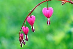 Lamprocapnos spectabilis (bleeding heart) Royalty Free Stock Photos