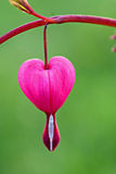 Lamprocapnos spectabilis (bleeding heart) Royalty Free Stock Photos