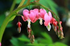 Lamprocapnos spectabilis flowers or The broken heart flowers Royalty Free Stock Photo