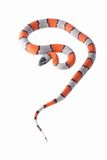 Lampropeltis Alterna Blair. A small and beauty coral snake Stock Image