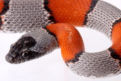 Lampropeltis Alterna Blair. A small and beauty coral snake Royalty Free Stock Image
