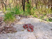 lampropeltis dojny czerwony węża syspila triangulum fotografia stock
