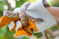 Lampropeltis getula meansi, commonly known as Apalachicola Kings Royalty Free Stock Image