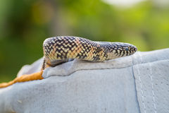 Lampropeltis getula meansi, commonly known as Apalachicola Kings Stock Photos