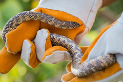 Lampropeltis getula meansi, commonly known as Apalachicola Kings. Nake, protect danger from snake by leather glove Stock Images