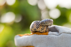 Lampropeltis getula meansi, commonly known as Apalachicola Kings Stock Images