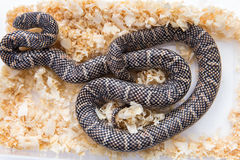 Lampropeltis getula meansi, commonly known as Apalachicola Kings Royalty Free Stock Photography