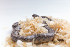 Lampropeltis getula meansi, commonly known as Apalachicola Kings. Nake, saw dust for snake bedding stock images