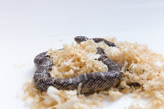 Lampropeltis getula meansi, commonly known as Apalachicola Kings Stock Photography
