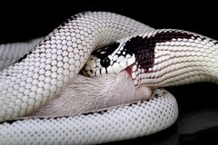 Lampropeltis getulus californiae Royalty Free Stock Images