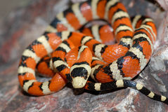 Lampropeltis pyromelana. A Sonoran mountain kingsnake from a range of mountains in New Mexico along the Mexican border stock photography