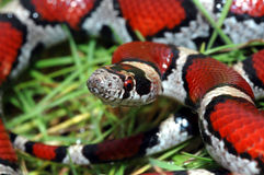 Lampropeltis triangulum. A red milksnake is wet from morning dew Royalty Free Stock Photos