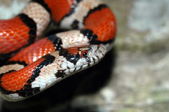Lampropeltis triangulum syspil Royalty Free Stock Image