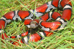 Lampropeltis triangulum syspila Royalty Free Stock Photo