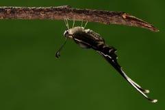 Lamproptera curia /butterfly med den långa svanen Arkivfoton