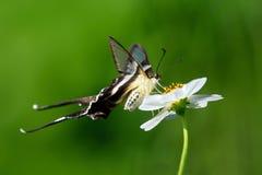 Lamproptera curius Zdjęcia Stock