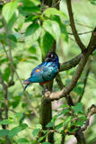 Lamprotornis superbus. Sitting  on the tree branch Stock Images