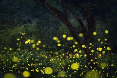 Fireflies flying in the forest at twilight. Lampyridae , Lightning Bugs Fireflies , Long exposure photo stock photography
