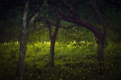 Fireflies flying in the forest at twilight. Lampyridae , Lightning Bugs Fireflies , Long exposure photo stock image