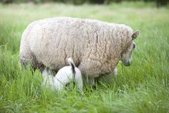 Lamsdranken van ooi in lang gras van weide royalty-vrije stock afbeelding