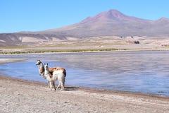 Lamy en altiplano Obraz Stock