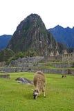 lamy machu Peru picchu Zdjęcie Stock
