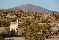 Lamy pasanie na Altiplano obrazy royalty free
