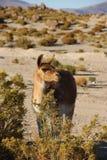 Lamy pasanie na Altiplano zdjęcie stock