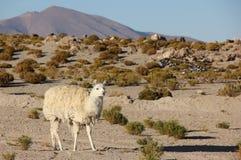 Lamy pasanie na Altiplano zdjęcia stock