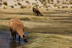 Lamy pasanie na Altiplano zdjęcia royalty free
