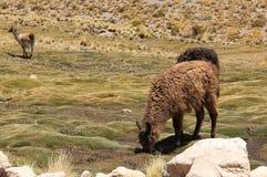 Lamy pasanie na Altiplano zdjęcie royalty free