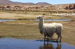 Lamy pasanie na Altiplano obraz stock