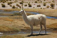 Lamy pasanie na Altiplano obraz royalty free