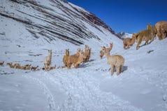 Lamy w Peru zdjęcia royalty free