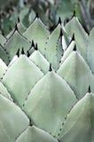 Lanças da agave Foto de Stock