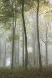 Lan nebbiosa evocativa vibrante variopinta sbalorditiva della foresta di Autumn Fall Fotografia Stock Libera da Diritti