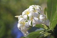 美丽的白花在泰国, Lan thom花 免版税库存图片