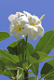Lan thom or Champa flower with bluesky Royalty Free Stock Images