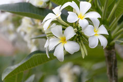 Lan thom flower. Beautiful white flower in thailand, Lan thom flower Royalty Free Stock Image