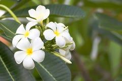 Lan thom flower. Beautiful white flower in thailand, Lan thom flower Royalty Free Stock Photos