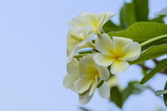 Lan thom flower. Beautiful white flower in thailand, Lan thom flower Stock Photos