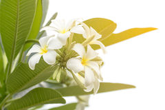 Lan thom flower. Beautiful white flower in thailand Royalty Free Stock Photos