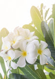 Lan thom flower. Close up Lan thom flower ,Beautiful white flower in thailand Royalty Free Stock Image